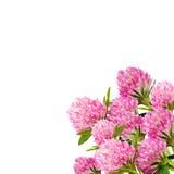 Flor del trébol rojo en cierre del blanco para arriba Imagen de archivo libre de regalías
