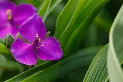 Flor del Tradescant en jardín Foto de archivo