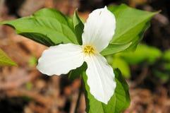 Flor del Trillium. Imágenes de archivo libres de regalías
