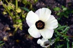 Flor del trionum del hibisco Foto de archivo libre de regalías