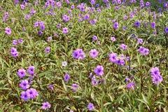Flor del tuberosa de Ruellia archivada Foto de archivo libre de regalías