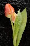 Flor del tulipán Imágenes de archivo libres de regalías