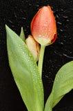 Flor del tulipán Fotos de archivo libres de regalías