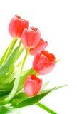 Flor del tulipán. Imágenes de archivo libres de regalías