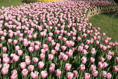 Flor del tulipán Imagen de archivo libre de regalías