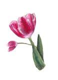 Flor del tulipán Foto de archivo libre de regalías