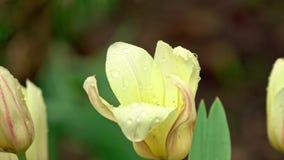 Flor del tulipán bajo la lluvia