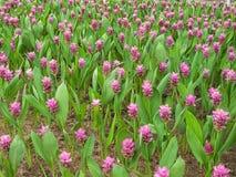 Flor del tulipán de Tailandia, naturaleza hermosa Imagen de archivo