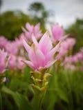 Flor del tulipán de Tailandia, naturaleza hermosa Imágenes de archivo libres de regalías