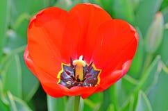 Flor del tulipán del primer Fotografía de archivo libre de regalías