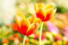 Flor del tulipán en el chiangmai real Tailandia de la flora Fotos de archivo libres de regalías