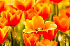 Flor del tulipán en el chiangmai real Tailandia de la flora Fotografía de archivo