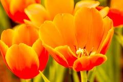 Flor del tulipán en el chiangmai real Tailandia de la flora Imagenes de archivo
