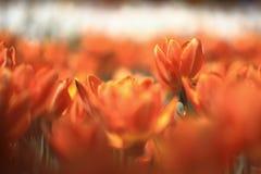 Flor del Tulipa Fotografía de archivo libre de regalías