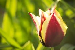 Flor del Tulipa foto de archivo