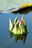 Flor del Tum de Bua y las pistas del loto Fotografía de archivo