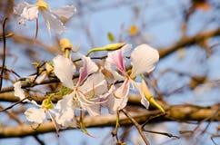 Flor del variegata del Bauhinia Fotografía de archivo