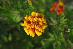 Flor del verano Fotografía de archivo