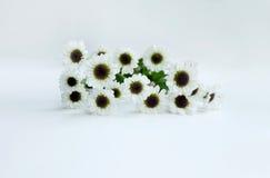 Flor del verano: crisantemo aislado en el fondo blanco Foto de archivo
