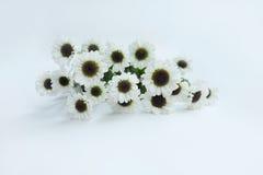 Flor del verano: crisantemo aislado en el fondo blanco Imágenes de archivo libres de regalías