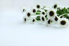 Flor del verano: crisantemo aislado en el fondo blanco Imagen de archivo libre de regalías