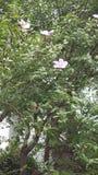 Flor del verano de la Corea del Sur Imagen de archivo libre de regalías