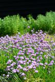 Flor del verano de la planta del allium de las cebolletas en jardín de verduras Foto de archivo