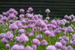 Flor del verano de la planta del allium de las cebolletas en jardín de verduras Fotografía de archivo