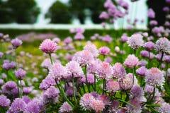 Flor del verano de la planta del allium de las cebolletas en jardín de verduras Fotografía de archivo libre de regalías