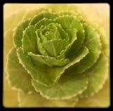 Flor del verde de Rose de la col Imagen de archivo libre de regalías