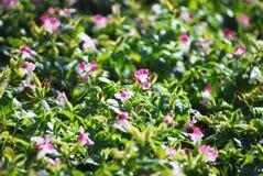 Flor del Vinca Imagen de archivo