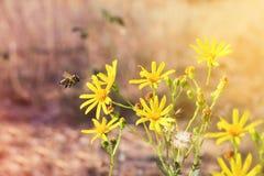 Flor del vuelo de la abeja Foto de archivo