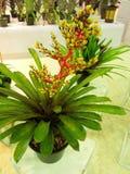 Flor del winkleri de Aechmea Fotos de archivo