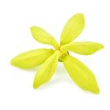 Flor del Ylang-ylang fotos de archivo