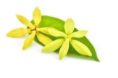 Flor del Ylang-ylang fotografía de archivo libre de regalías
