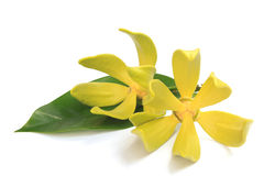 Flor del Ylang-ylang Imagen de archivo libre de regalías