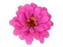 Flor del Zinnia Foto de archivo libre de regalías