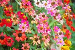 Flor del Zinnia Fotografía de archivo libre de regalías