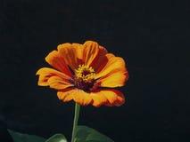 Flor del zinnia Imágenes de archivo libres de regalías