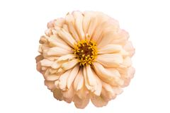Flor del Zinnia aislada fotografía de archivo