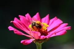 Flor del Zinnia con el abejorro Imagenes de archivo