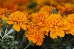 Flor del Zinnia en el jardín Foto de archivo libre de regalías