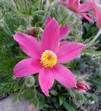 Flor delicada da mola - pulsatilla Fotos de Stock