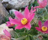 Flor delicada da mola - pulsatilla Fotografia de Stock