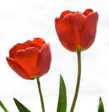 Flor delicada da mola - tulipas vermelhas Foto de Stock
