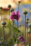 Flor delicada de la amapola en un campo en la naturaleza en luz del sol en un fondo ligero Pétalos delicados aéreos de una amapol fotografía de archivo libre de regalías
