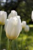 Flor delicada de uma tulipa Fotografia de Stock
