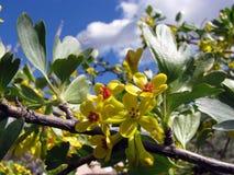 Flor delicada do amarelo da mola contra Fotografia de Stock Royalty Free