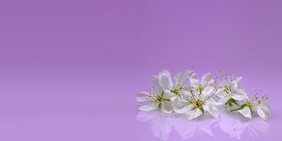 Flor delicada no fundo lilás Fotografia de Stock Royalty Free