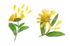 Flor delicada pressionada e secada de officinalis do calendula Imagens de Stock Royalty Free